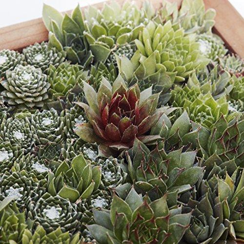 Succulent Gardens Medium Living Picture Planter DIY Kit, 6'' x 12'' Frame, Multicolor by Succulent Gardens (Image #3)