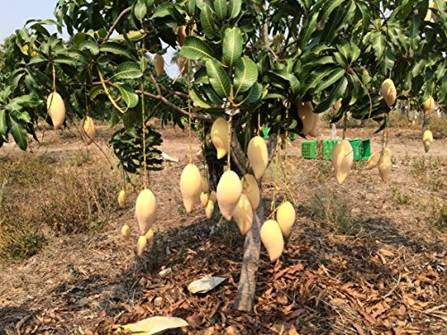 1 GRAFTED Mango Tree plant Nam-Dok-Mai Si Thong 18'' Tall Thai Golden Mango Fruit Juicy Direct from Thailand Free Phytosanitary Cert. by Nature8 Farm (Image #1)