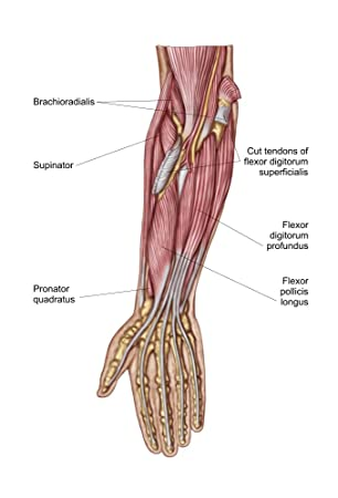 Amazon.com: Anatomy of human forearm muscles deep anterior view ...
