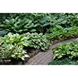 ½ BU Bulbs of Hosta bulk Mixed