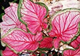 (3) Beautiful Pink & Green Foilage Caladium Florida Sweetheart Large Bulbs