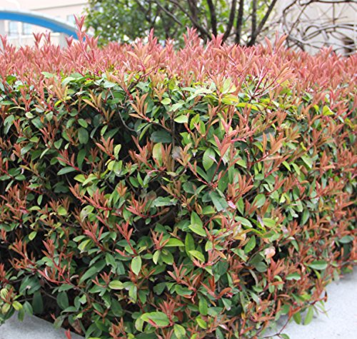 futabar-photinia-serrulata-rosaceae-evergreen-shrubs-or-small-trees-100-seeds