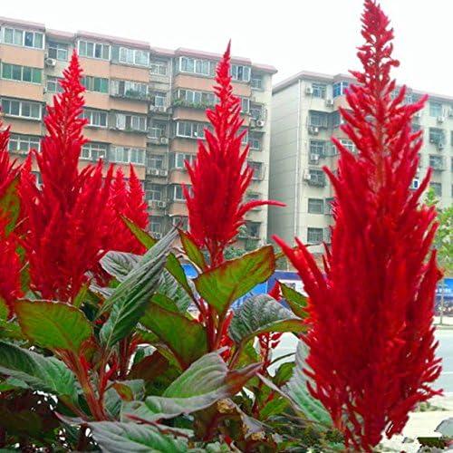 100 PC / bolso chino Pteris Pinnadas Cockscomb (Celosia spicata) semillas coloridas plantas bonsai en macetas de flores para la decoración de jardín 1: Amazon.es: Jardín