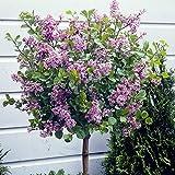 Lilac'Palibin' Standard Tree 90-100cm Tall 3L Pot