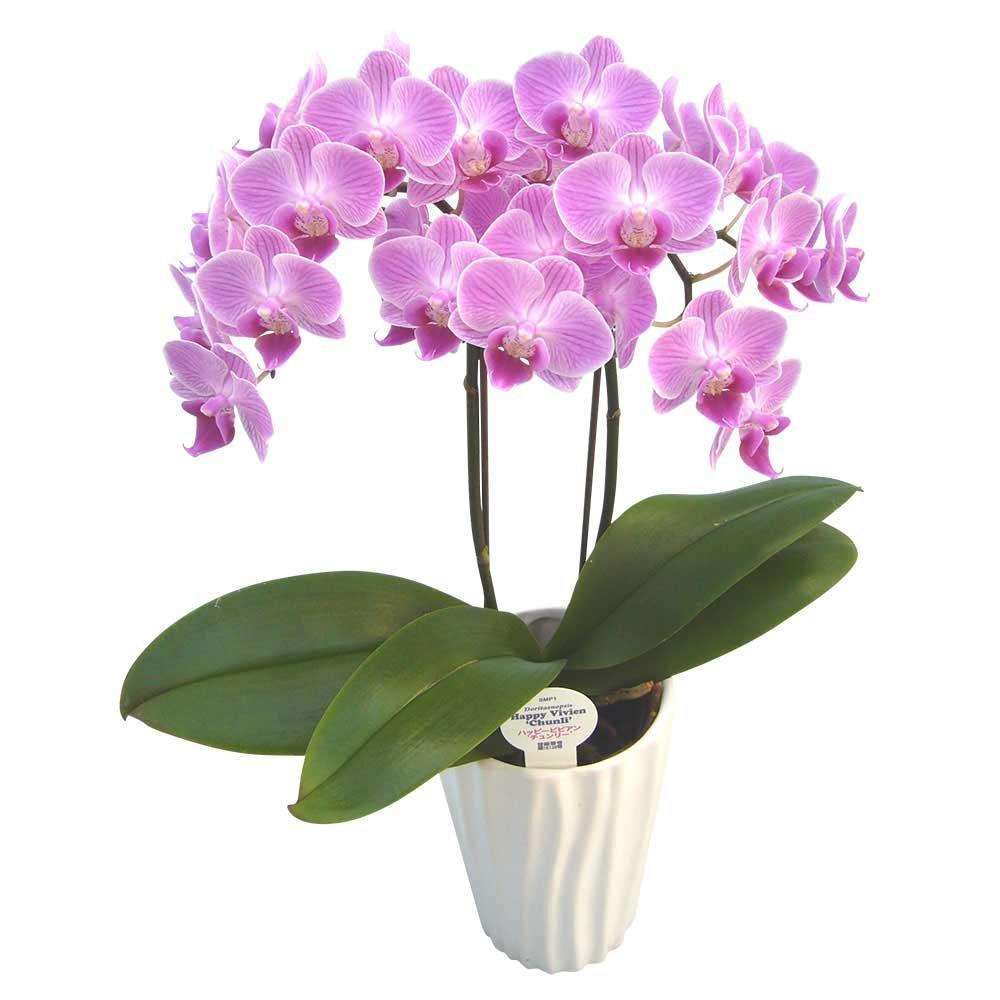 胡蝶蘭 ギフト 4号鉢 ラージサイズ2本立 ホワイト/ラッピング&メッセージ無料花のプレゼント 生花 鉢植え 開店祝いに 母の日 父の日 敬老の日 おじいちゃん おばあちゃん (ピンク2) B07CPW947T ピンク2 ピンク2