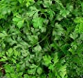 1000 Italian Parsley Seeds,Dark Green Giant Flat Leaf Parsley,- ORGANIC HERB