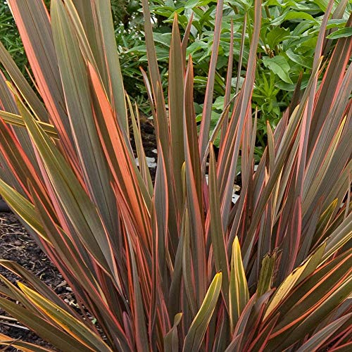 Phormium Tenax 'Sundowner' Evergreen Hardy Compact Garden