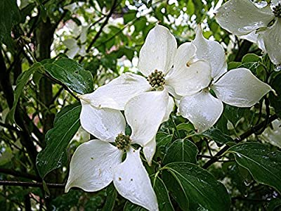 Flowering Dogwood Tree Seed, Choose Seed Count, Stunning Flowering Landscape Tree