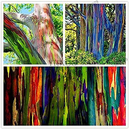 Yard Garden Outdoor Living Rainbow Eucalyptus Deglupta Seeds Rare Bonsai Tree Seeds 100pcs Bag Best Candiidonline Com