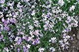 Night Scented Stock - Pkt. 100 Seeds
