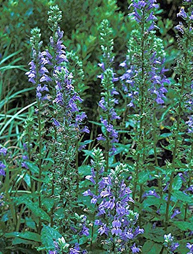 Amazoncom 20 Great Blue Lobelia Seeds Shade Flowers Usa Grown