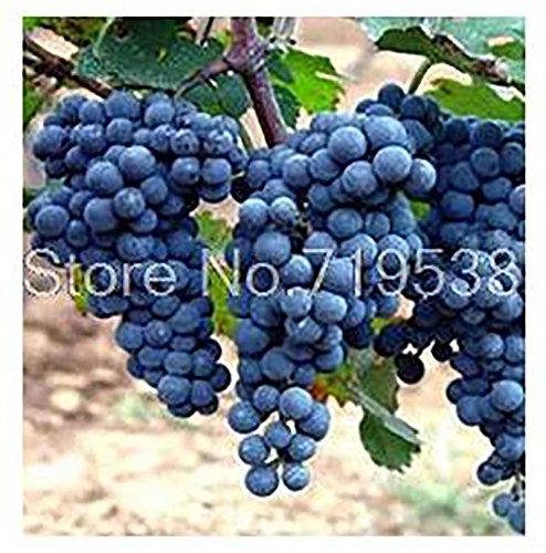 grape seedlings - 9