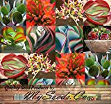 BULK x Kalanchoe Species Mix - Rare Fresh Seeds - SUCCULENT Leaves Can Form Entire Plant - Various Shades and Colors - Inflorescence Orange Blooms - By MySeeds.Co (0100 Seeds - 100 Seeds)