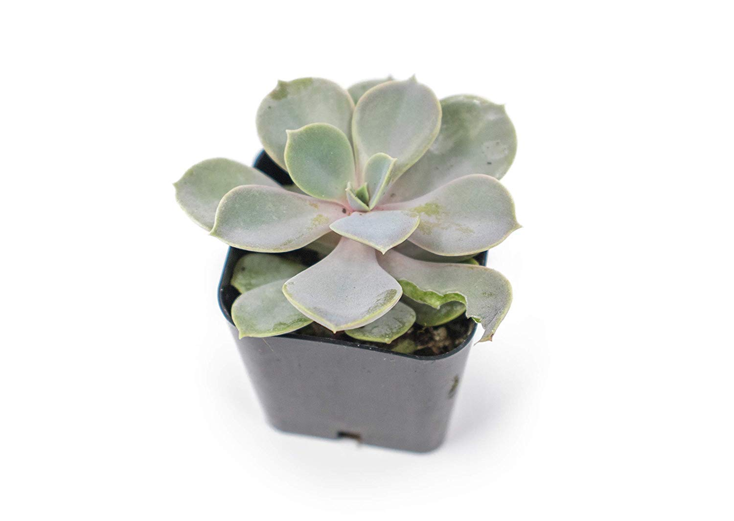 20 Live ''B-Grade'' Succulents | House Plants with Minor Flaws | Healthy Discounted Cheap Succulent Plants in Planter Pots with Soil by Plants for Pets by Plants for Pets (Image #4)