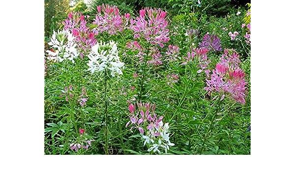 Cleome gynandra Easy to grow 3 gram Asian spider flower Fresh seeds