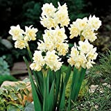 10 Erlicher Double Bloom Paperwhites 14-15cm- Indoor Narcissus: Narcissus Tazetta: Nice, Healthy Bulbs for Holiday Forcing!!