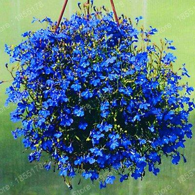 Amazoncom Hot 200pcsbag Chinese Lobelia Bonsai Flower Seeds