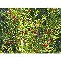 30 Seeds Red Huckleberry Vaccinium Parvifolium Shrub Seeds TS2