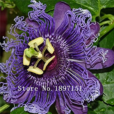 100Pcs Exotic Passion Fruit Seeds Purple Passiflora edulis seeds Passion Flower Outdoor plant