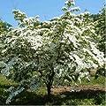 """Chinese Dogwood Trees - Cornus kousa var 'chinensis' Beautiful Flowering 18-24"""""""