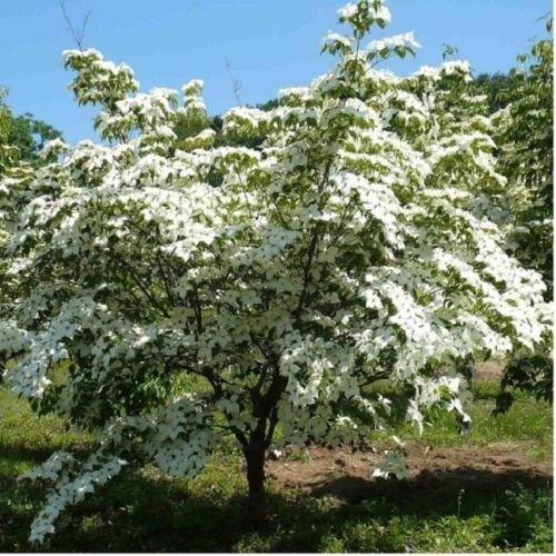 Tree Cornus Kousa Dogwood - Chinese Dogwood Trees - Cornus kousa var 'chinensis' Beautiful Flowering 18-24