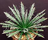 AGAVE TOUMEYANA bella exotic aloe exotic succulent rare cactus seed 100 SEEDS