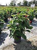 PlantVine Odontonema strictum 'Firespike Red', Odontonema cuspidatum - Large - 8-10 Inch Pot (3 Gallon), Live Plant, 4 Pack