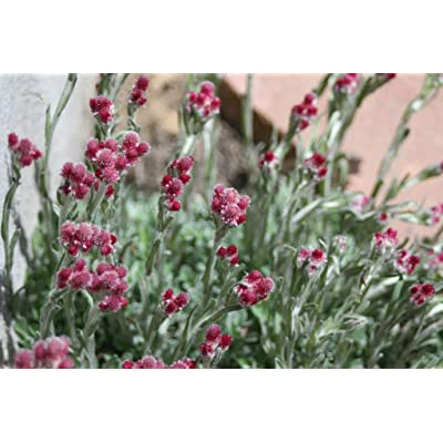 20 Red Pussytoes Pink RedTinted Antennaria Dioica Rubra Everlasting Flower Seeds #SFB : Garden & Outdoor [5Bkhe1903086]