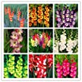 Brend New!!! 100/bag Perennial Gladiolus Flower Seeds, Rare Sword Lily Seeds for DIY HOME garden planting Aerobic potted plants decoration