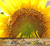 Mammoth Gray Grey Stripe HUGE Sunflower - Seed Seeds - 9 - 12 Feet Tall - EXTENDED BLOOMS - Zones 1-10 - By MySeeds.Co (2300 Seeds - 8 oz)