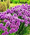 "Cicitar Garden - Rare 20pcs Purple Fragrant Allium Collection""Millenium"" Ornamental Onion for Bees and Butterflies, Garden bee Flower Seeds Hardy Perennial"