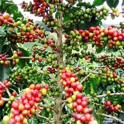 CAFE coffea arabica 10 semillas cultiva tu propio cafe de calidad