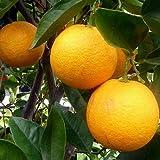 2-3 Year Old (2-3 Ft) Cara Cara (Red Navel) Orange Tree