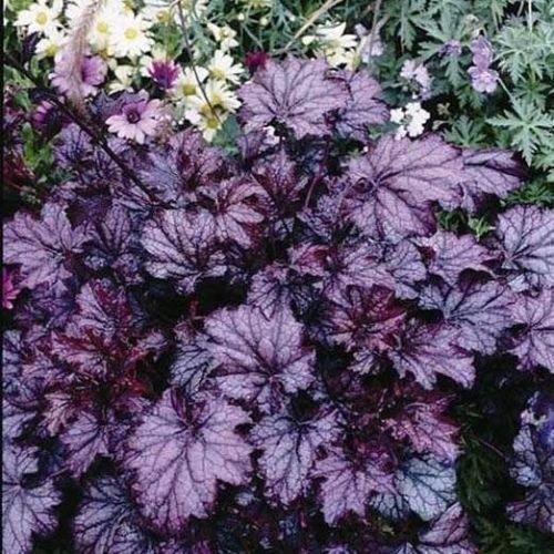 Heuchera Amethyst MYST Purple Easy Coral Bells 2.5
