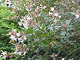 1 Starter Plant of Abelia Floribunda - Mexican Abelia