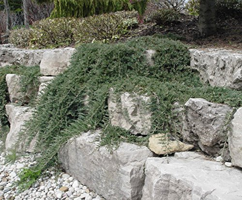Blue Rug Juniper Wiltonii Qty 30 Live Plants Evergreen Groundcover by Blue Rug Juniper (Image #5)