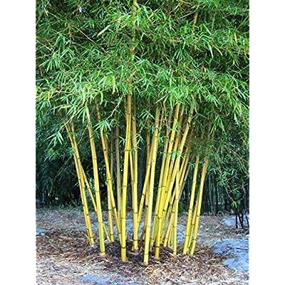 Bambusa Nutans Burmese Timber Bamboo Seeds Growing Garden Plant 10 PCS : Garden & Outdoor