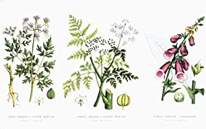 Image: Common Poisonous Plants. Left To Right: Fool's Parsley Or Lesser Hemlock (Aethusa Cynapium); Common Greater Or Spotted Hemlock (Conium Maculatum); Purple Foxglove Or Folksglove (Digitalis Purpurea). From The Household Physician, Published Circa 1890. Poster Print (18 x 11) by Posterazzi