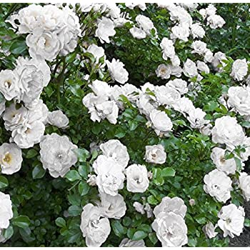 Amazon icy white drift groundcover rose quart pot garden icy white drift groundcover rose quart pot mightylinksfo