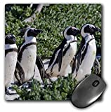 3dRose LLC 8 x 8 x 0.25 Inches Mouse Pad, African Penguins, Cape Town, South Africa - Ralph H. Bendjebar (mp_74234_1)