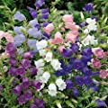 Seeds Canterbury Bells Mix Flower Perennial Balcony Outdoor Cut Organic Ukraine for Planting