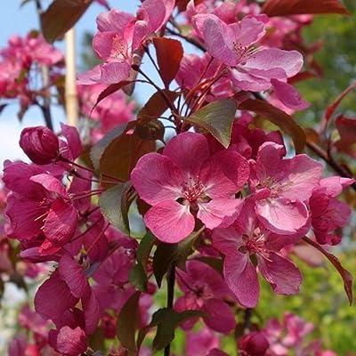 5 Gallon Plant Pink Floowering Crabapple Tree Plant Outdoor Gardening tktreas : Garden & Outdoor