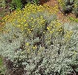 Santolina chamaecyparissus Perennial Flowers Seeds 1,000 Pcs an