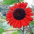 Narutosak Sunflower Seeds, 15 Pcs/30 Pcs Red Sunflower Rare Flower Seeds Annual Decor Organic Helianthus - 15pcs