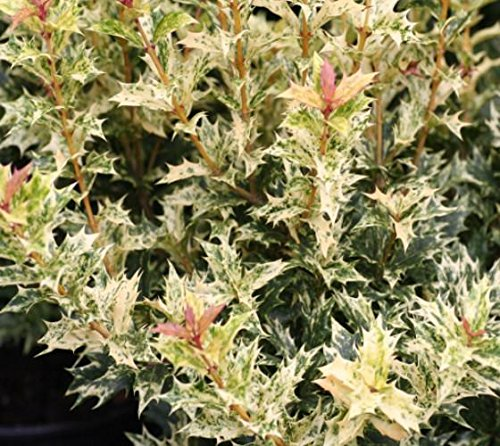 Goshiki Variegated Tea Olive (osmanthus) - Live Plant - Quart Pot ()