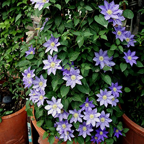 Wintefei 50Pcs Blue Clematis Flower Plant Seeds Garden Potted Bulbs Balcony Decor Gift