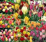 50 Spring Eternal Tulip Mixture
