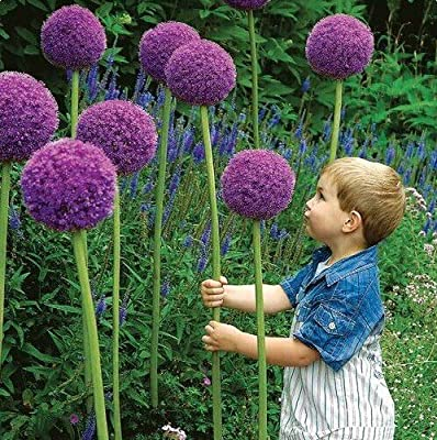 100pcs Exotic flowers onion seeds flower POTS planters beautify the courtyard furniture ornamental plants Free Shipping