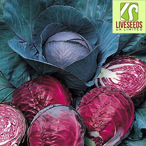 Used, Liveseeds - Cabbage Red Drumhead 30 Finest seeds for sale  Delivered anywhere in USA