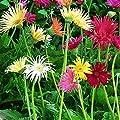 Burpee California Mixed Colors Gerbera Seeds 25 seeds
